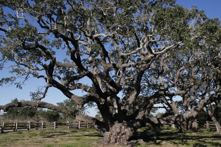 1000 year-old live oak _ Gerry Feehan